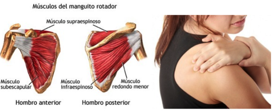 musculos_manguito_rotador